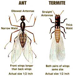Side by side comparison of an ant and a termite